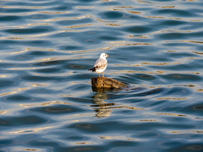 Seagull resting on the log sticking out from the water. Animal Animal Themes Animal Wildlife Animals In The Wild Beauty In Nature Bird Day Gull Lake Nature No People One Animal Outdoors Rippled River Sava River Vertebrate Water Waterfront