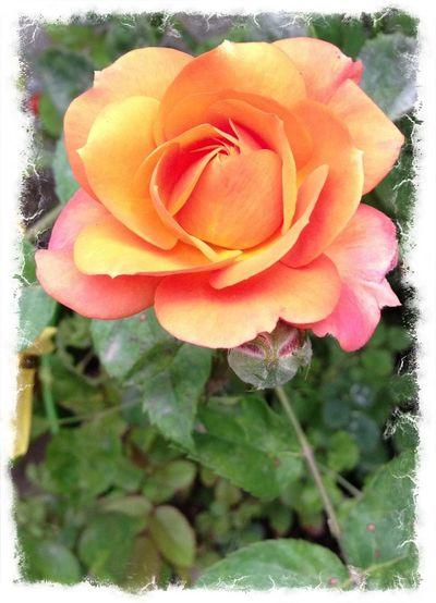 Roses EyeEm Nature Lover EyeEm Best Shots - Flowers
