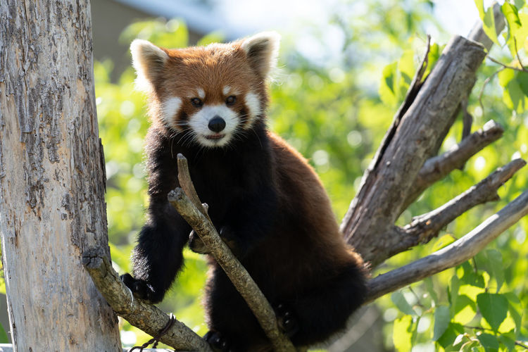 Portrait of red panda on tree