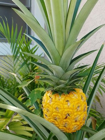 Digital Photography Freshness pineapple