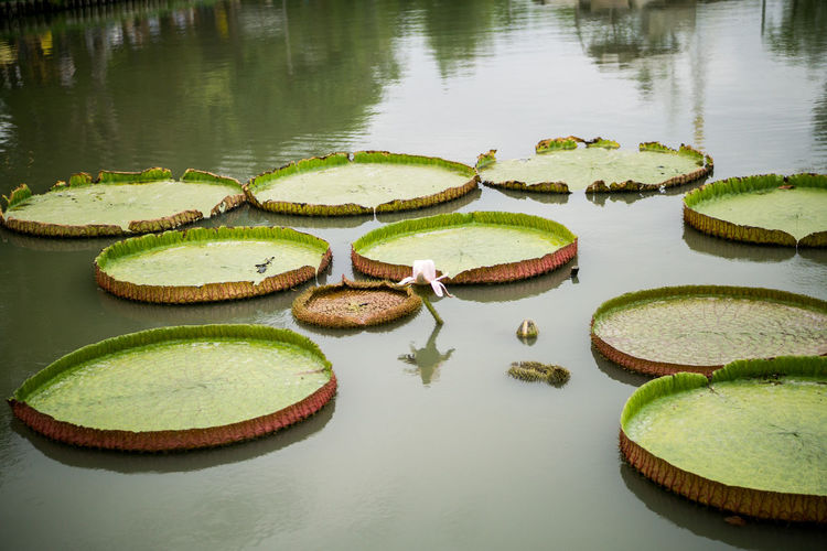 Water Lake No People Reflection Green Color Beauty In Nature Nature Day Water Lily Plant Floating On Water Floating Tranquility Outdoors Freshness Waterfront Flower High Angle View Lotus