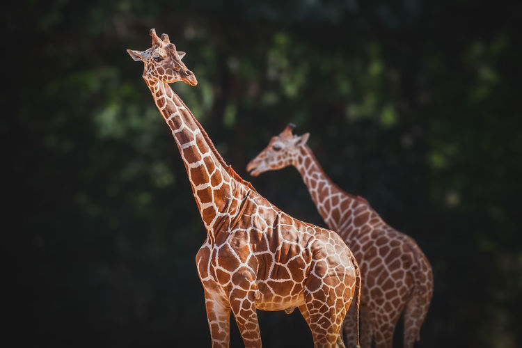 Giraffe Animal Animal Themes Animal Wildlife Mammal Animals In The Wild No People Focus On Foreground Outdoors Animal Neck Herbivorous Close-up Wildlife Photography Low Angle View One Animal Standing