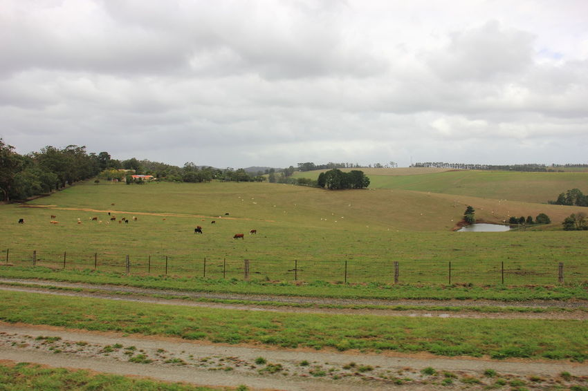 The view of rolling farmland of Dandenong Ranges in Victoria, Australia. Australia Australian Landscape Travel Victoria Australia Agriculture Australia & Travel Dandenong Ranges Field Grass Landscape Nature Rural Scene Tranquil Scene Travel Destinations