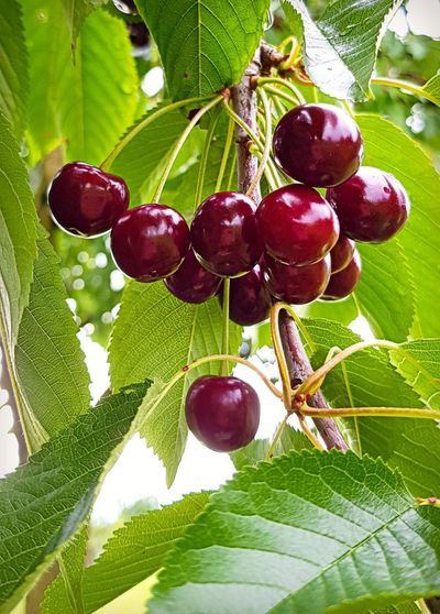 Cherry Beauty In Nature Berry Fruit Cherry Tree Cherryfruits Close-up Day Food Food And Drink Freshness Fruit Green Color Growth Healthy Eating Leaf Nature No People Outdoors Plant Plant Part Red Redcherries Ripe Tree Wellbeing