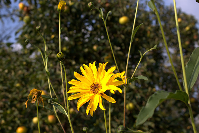 Beauty In Nature Bloom Blooming Blossom Botany Close-up Daisy Day Field Flower Flower Head Focus On Foreground Fragility Freshness Growth In Bloom Nature Petal Plant Pollen Springtime Stem Vibrant Color Wildflower Maximum Closeness Paint The Town Yellow