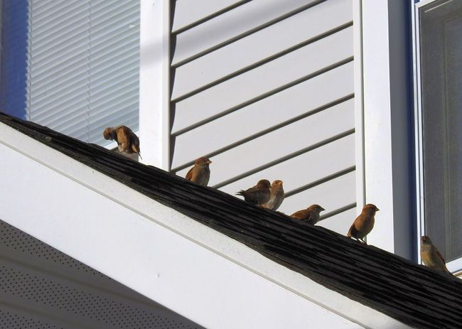 Abundance Angled Lines Angles And Lines Bird Photography Birds Birds On A Roof Birds_collection Finches Geometric Abstraction Geometric Shapes Geometry House Lines Lines And Angles Lines And Shapes Little Birds Triangle Wildlife In The City Nikon P900
