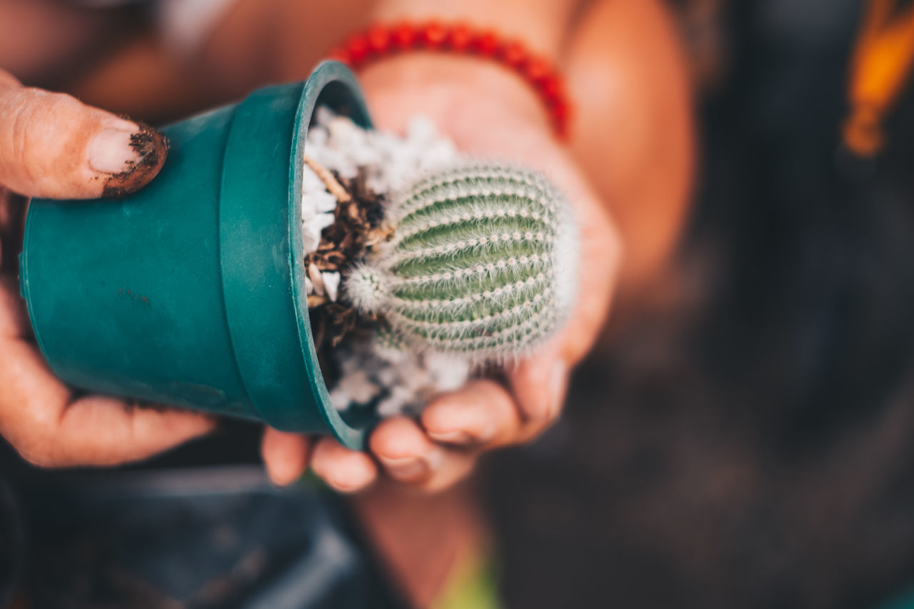 Close-up of person holding potted cactus