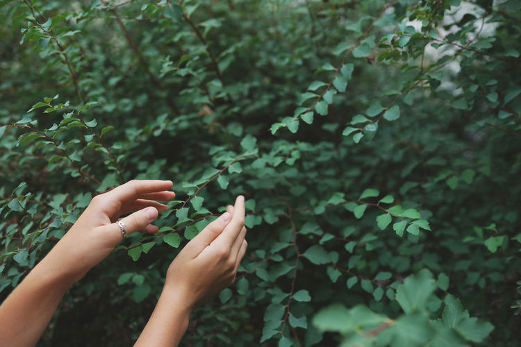 Women's hands with green leaves at a tea plantation for product , natural selected ,