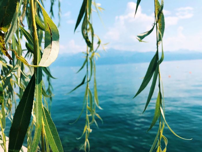 Mountain Switzerland EyeEm Best Shots EyeEmNewHere Lausanne Lac Léman Plant Nature Beauty In Nature Sky Growth No People Cloud - Sky Water Tranquility Day Green Color Close-up Focus On Foreground Plant Part Leaf Sunlight Outdoors Tree Lake