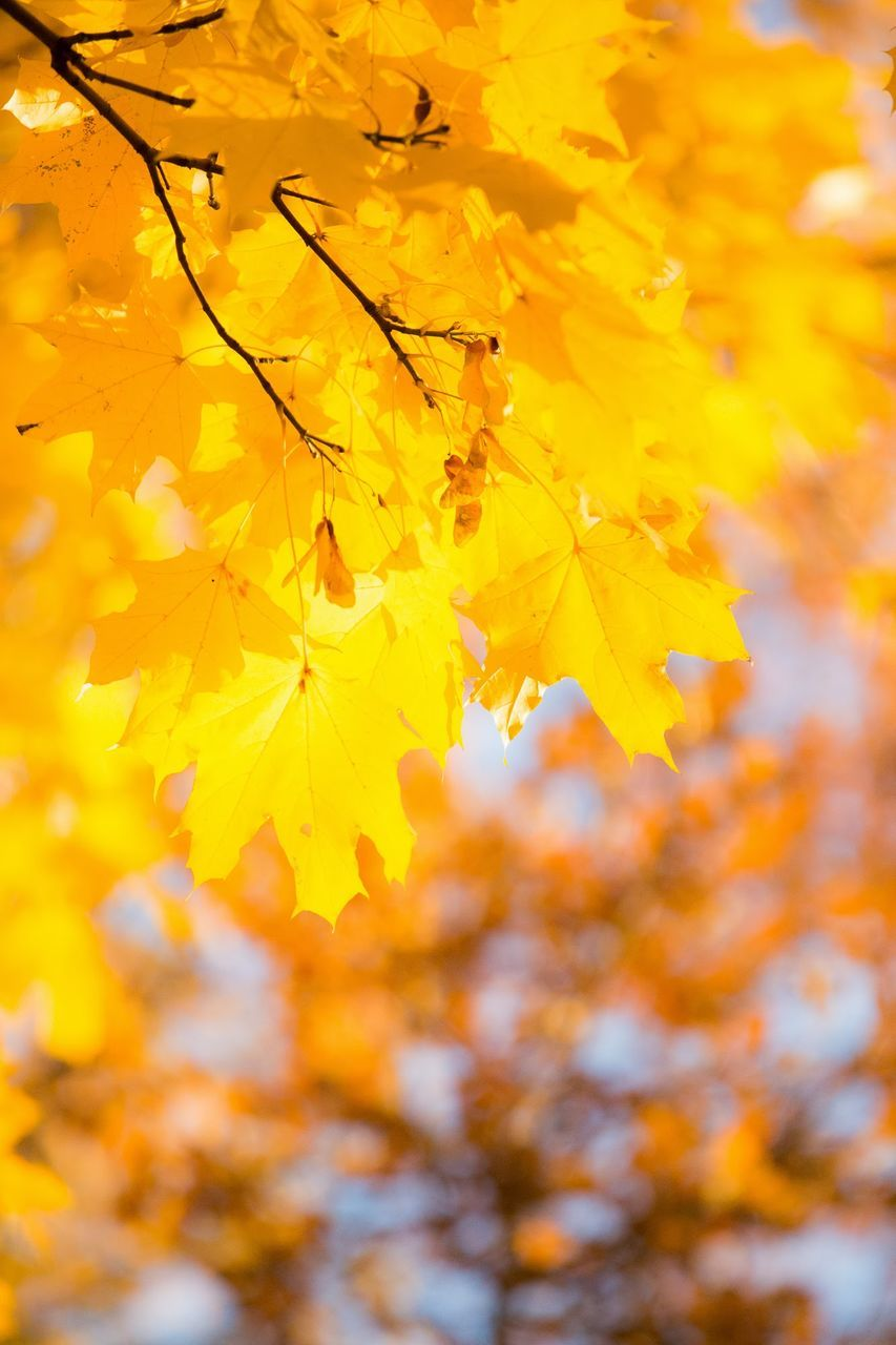 autumn, change, leaf, yellow, nature, leaves, beauty in nature, growth, maple tree, outdoors, tranquility, maple leaf, no people, tree, maple, day, close-up