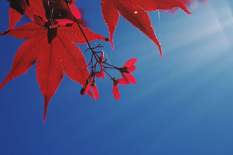 Close-Up Of Red Maple Leaves Against Blue Sky