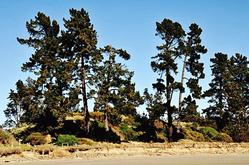 Rabbit Island Pinetrees Beach Front Trees TreePorn Nature I Love Trees Hugging A Tree