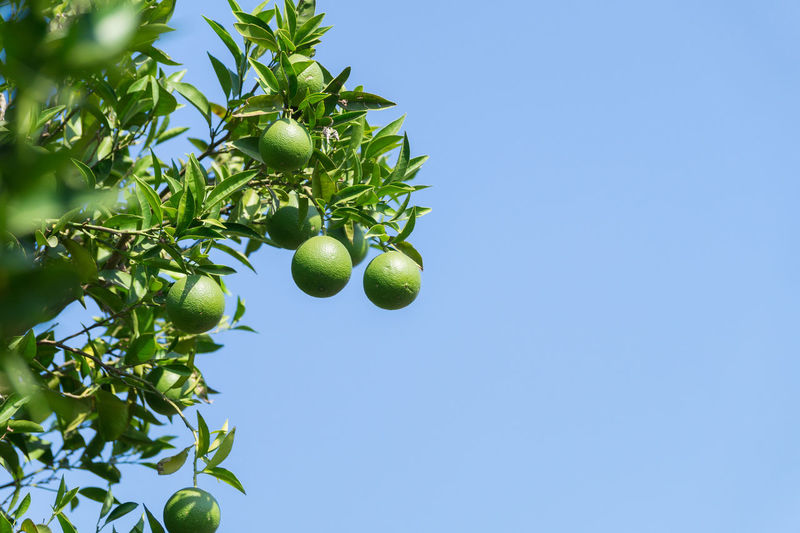 Low angle view of oranges growing on tree against clear sky