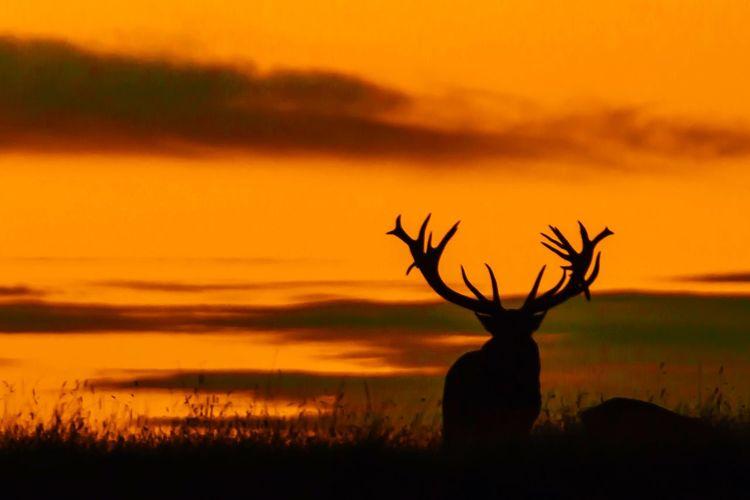 Reddeer Deer Sundown