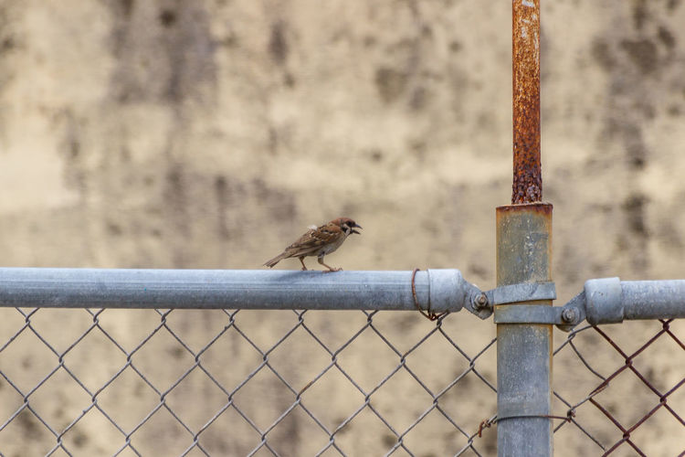 Birds perching on metal fence