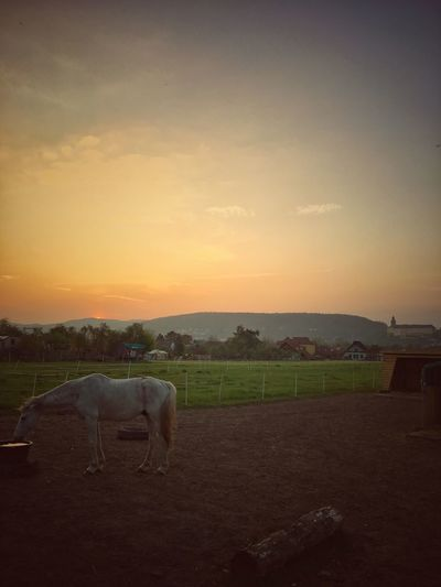 View of a horse drinking water and a beautiful sunset behind Animal Themes Domestic Animals Sunset Mammal Horse Livestock Field Landscape Sky One Animal Nature No People Outdoors Grazing Rural Scene Agriculture Beauty In Nature Scenics Tree Day The Great Outdoors - 2017 EyeEm Awards