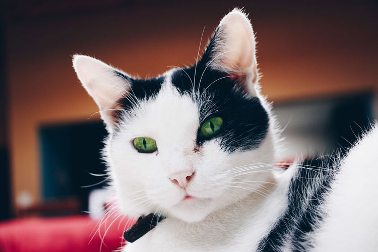 Eyes Animal Themes Cat Close-up Day Domestic Animals Domestic Cat Feline Focus On Foreground Indoors  Looking At Camera Mammal No People One Animal Pets Portrait Whisker