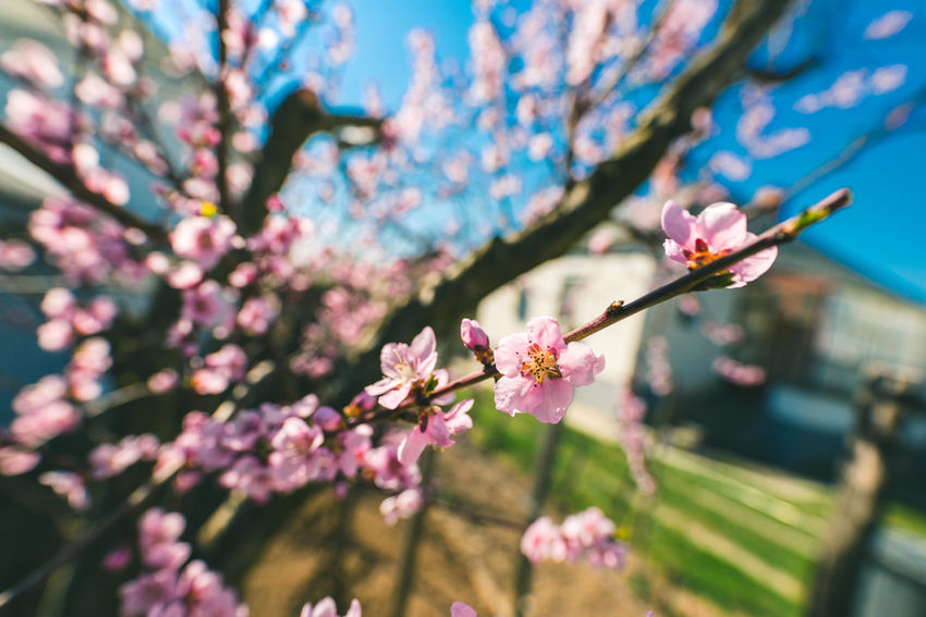 Springtime Beauty In Nature Blossom Close-up Flower Freshness Nature Pink Color Springtime Tree Tree Wide Angle