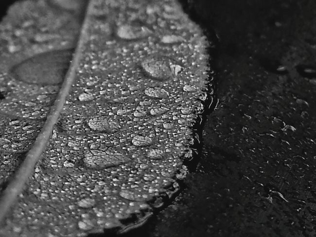 Water_collection Water for Bnw_friday_eyeemchallenge Rainy Day Rain Drops Rain Droplets Leaf Macroclique Textures And Surfaces Showcase: December My Best Photo 2015 Macro Pattern, Texture, Shape And Form Appreciate The Little Things In Life EyeEm Best Shots - Macro / Up Close EyeEm Nature Lover RePicture Growth EyeEm Macro Enjoying The Rain Drops Macro Beauty Nature's Diversities The Great Outdoors - 2016 EyeEm Awards The Essence Of Summer Monochrome Photography Maximum Closeness Perspectives On Nature Black And White Friday