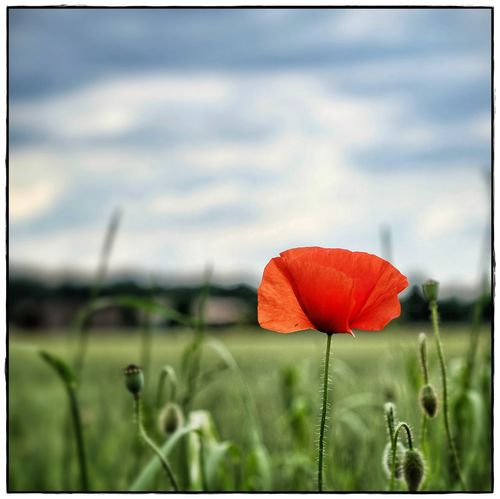 red poppy Beauty In Nature Close-up Field Flower Focus On Foreground Growth Lawoe Nature No People Outdoors Plant Poppy Flowers Red