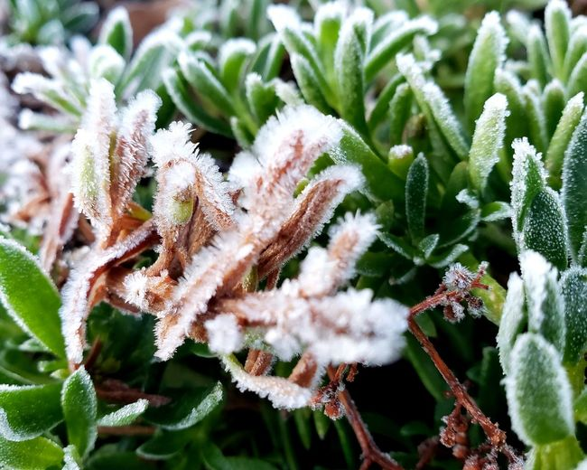 So cold in Southern California the plants froze. But wait, do I see the sun? Winter Snow Frozen Frost Plant Close-up Green Color Cold Temperature Ice Fractles Crystals Ice California