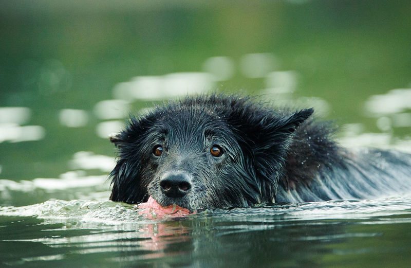 Close-up portrait of black dog swimming in lake