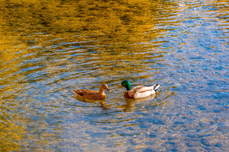 Bird Animal Themes Animal Water Animal Wildlife Animals In The Wild Vertebrate Lake Group Of Animals Swimming Duck Poultry Waterfront Day No People Two Animals High Angle View Nature Female Animal Animal Family Outdoors Floating On Water