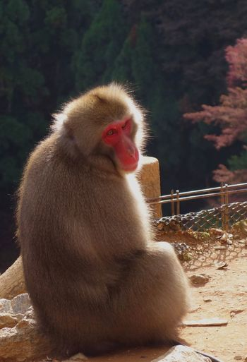 Turning Head Turning Around Backlight Back Lit Autumn Japanese Maple Snow Monkey Portrait Monkey Animal Themes One Animal Mammal Animals In The Wild Day Japanese Macaque No People Outdoors Nature Sitting Baboon Close-up