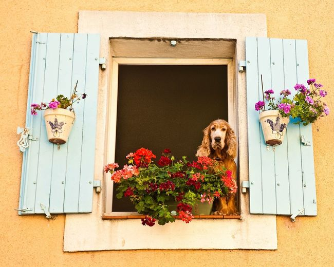 'Waiting for her Romeo' Pastel Power Dog Dogs Dog Love Dog❤ Dogslife DogLove Dogstagram Dogs Of EyeEm Doglover Romance Flowers Longing Narbonne France Spaniel