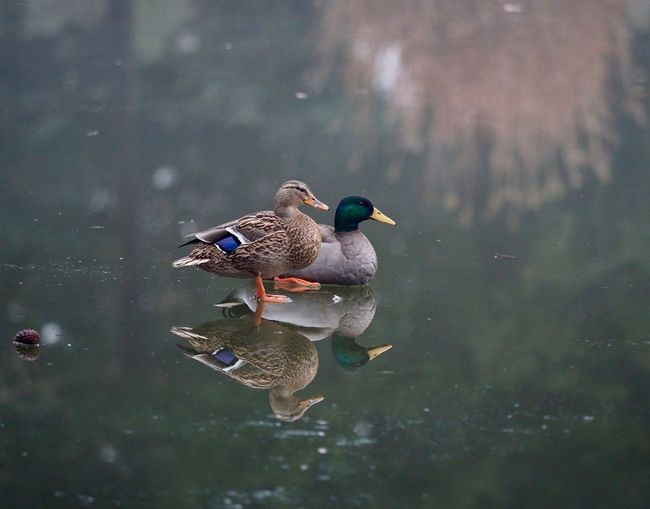 Duck Paris Bird Lake Winter France Nature Bois De Boulogne