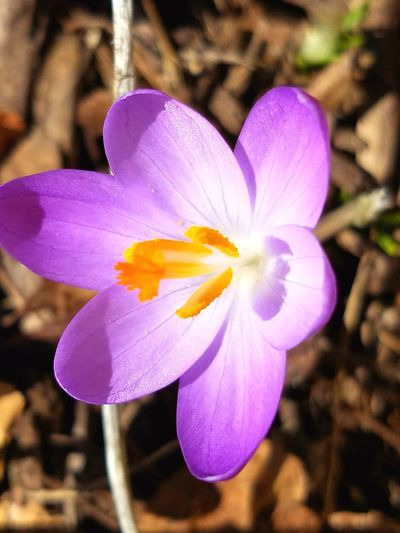 Flower Nature Petal Flower Head Fragility Focus On Foreground Beauty In Nature Close-up Freshness Growth Plant Purple Outdoors Crocus No People Blooming Day February 2017 Winter Beauty In Nature Popular Photos Popular Eyeemphoto