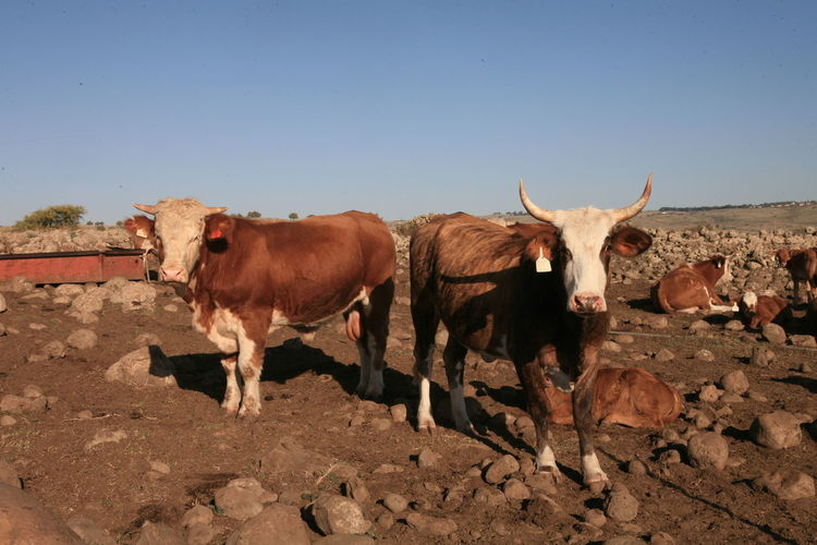 Cows in an Israeli landscape Mammal Animal Themes Animal Livestock Group Of Animals Domestic Animals Sky Clear Sky Cattle Domestic Nature Pets Vertebrate Land Standing Copy Space Landscape Cow Day Domestic Cattle No People Herbivorous Outdoors Herd