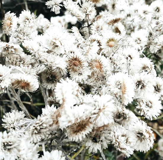 Nature White Color Cold Temperature Beauty In Nature No People Fragility Day Flower Flowers Dried Flower Fiori Autunno  Autumn Fall Giorno Bianco Natura