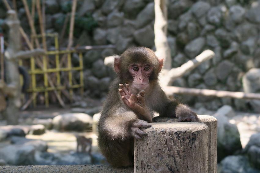 Animal Themes Monkey Animals In The Wild Mammal Primate Nature Animal Wildlife One Animal Outdoors Rock - Object No People Day Orangutan Ooita Japan 大分 高崎山