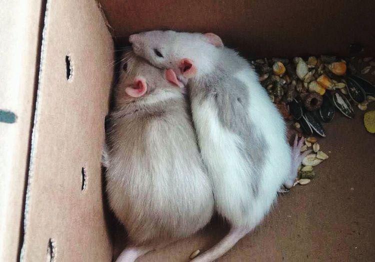 Rats Surprise Pets Family Harley Quinn Poison Ivy Babies Petsmart Sisters