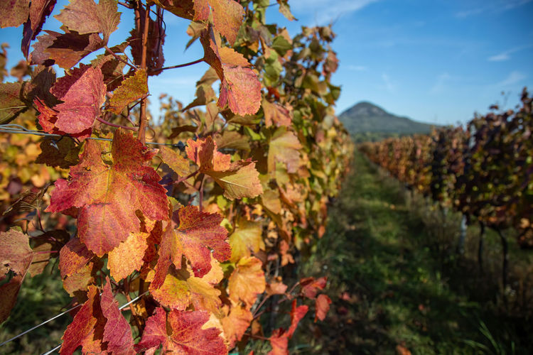 Close-up of autumn leaves growing in vineyard
