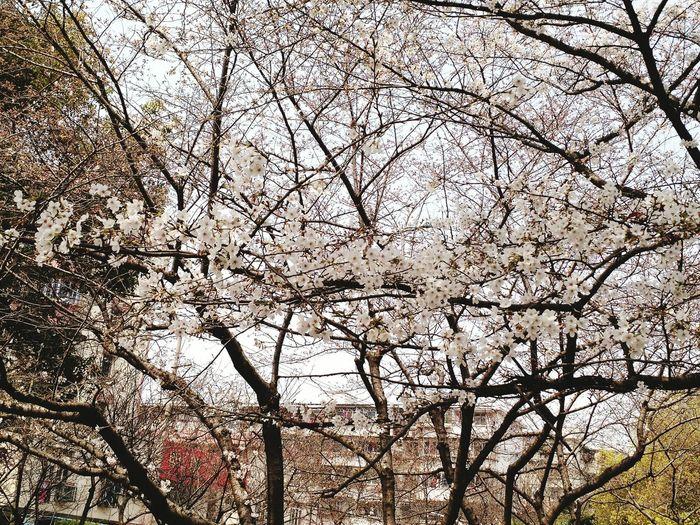 桜の海 Ningbo 海曙公园 樱花 春 Flower Bloom
