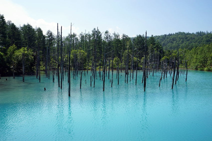 Blue Pond 青い池 Hokkaido Beauty In Nature Blue Blue Pond Green Color Nature No People Reflection Scenics - Nature Tranquil Scene Tranquility Tree Trees And Water Turquoise Colored Water