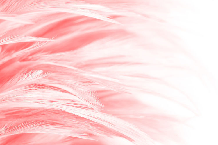 Pink Color Backgrounds Full Frame Close-up No People Softness Textured  Indoors  Fragility Vulnerability  Textile Feather  Studio Shot Pattern Freshness Plant Nature Still Life Extreme Close-up Flower Abstract Backgrounds