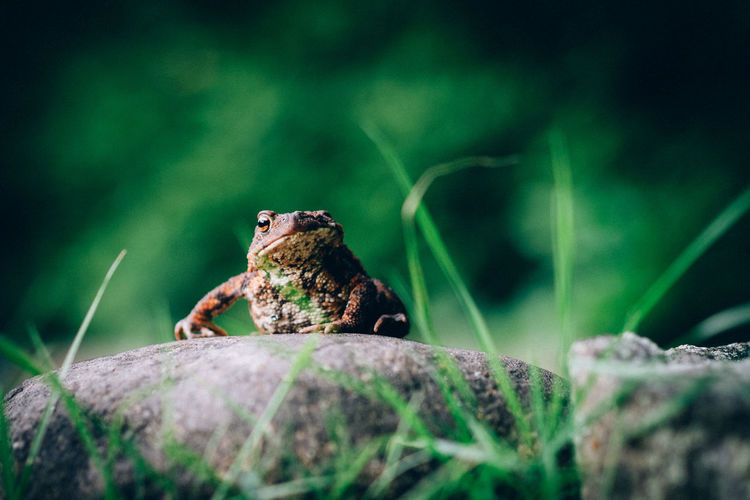 one-eyed toad Animal Themes Selective Focus One Animal Animals In The Wild Animal Animal Wildlife Rock No People Rock - Object Nature Day Close-up Amphibian Outdoors Toad One-eyed One Eye One-eyed Toad Grass Stone