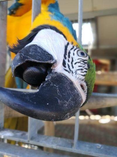 Focus On Foreground Close-up Hanging Day Bird Parrot Ara Macao
