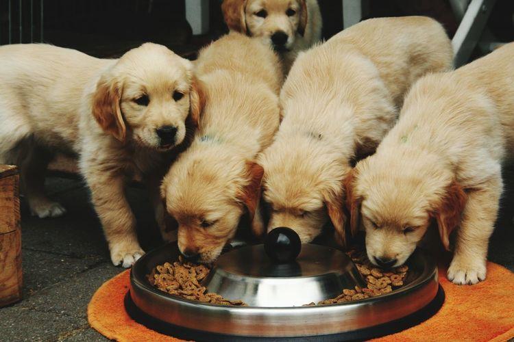 Golden Retriever Puppies Eating Sm Photos EyeEmNewHere Puppies Of Eyeem Puppy Love Puppy Love ❤ Puppy Photography Puppies Golden Retriever Pets Beagle Dog Puppy Young Animal Close-up Golden Retriever Canine