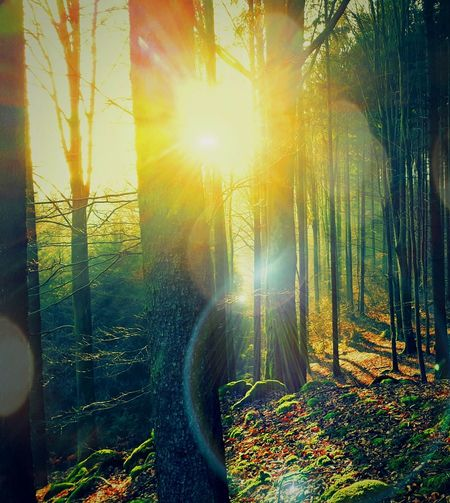 Beautiful Nature Natures Colors Movement Photography Outdoor Photography Oudside Sunrise_Collection Hazy Morning A Walk In The Woods Sun Lit Sun Beam Tree Curtain Sunlight Lens Flare Sunbeam Sky Shining Tree Trunk Woods Plant Bark Fallen Tree Branch WoodLand Moss Bark Lichen Tranquil Scene Streaming Sun Calm