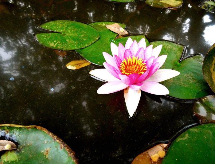 Lilypads Nature