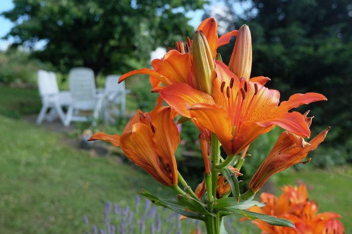 Gartenplatz Gartenstuhl Beauty In Nature Blooming Close-up Day Day Lily Flower Flower Head Focus On Foreground Fragility Freshness Growth Lilies In Bloom Nature No People Orange Color Outdoors Petal Plant