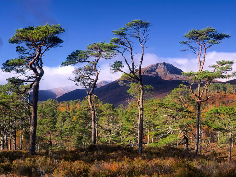 Four Pines - Sgurr na Lapaich in the distance from Glen Affric Autumn Autumn Colors Beauty In Nature Blue Glen Affric Highlands Landscape Nature Nature Outdoors Scenics Scotland Scotland 💕 Sky Tranquil Scene Tranquility Tree The Great Outdoors - 2017 EyeEm Awards The Great Outdoors - 2017 EyeEm Awards