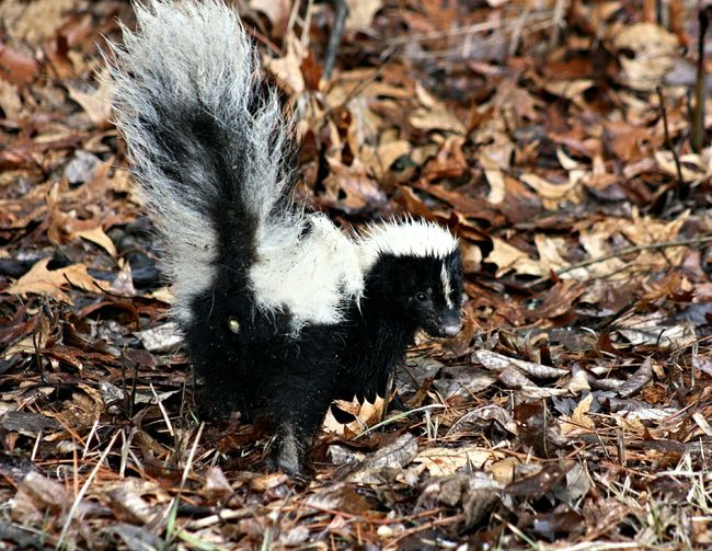 Skunk Animals Eye Em Nature Lover TMMJ
