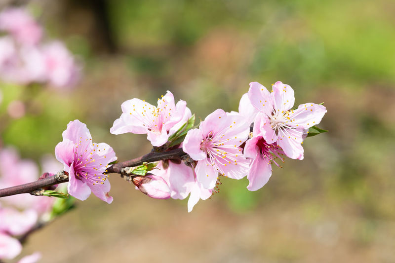 peach flower in springtime Flowering Plant Flower Fragility Plant Vulnerability  Beauty In Nature Freshness Growth Pink Color Close-up Petal Tree Branch Focus On Foreground Blossom Inflorescence Flower Head Day Nature Springtime No People Outdoors Pollen Cherry Blossom Cherry Tree
