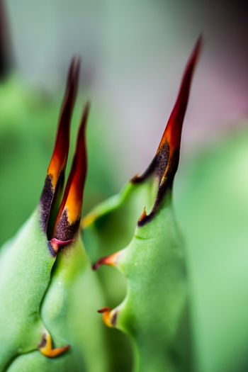 """Agave macroacantha """"viridis"""" - Close up of the spines Animal Themes Animals In The Wild Beauty In Nature Blossom Botany Close-up Focus On Foreground Freshness Green Color Growth Insect Multi Colored Nature New Life One Animal Petal Plant Red Selective Focus Springtime Stem Wildlife Zoology Agave Maximum Closeness"""