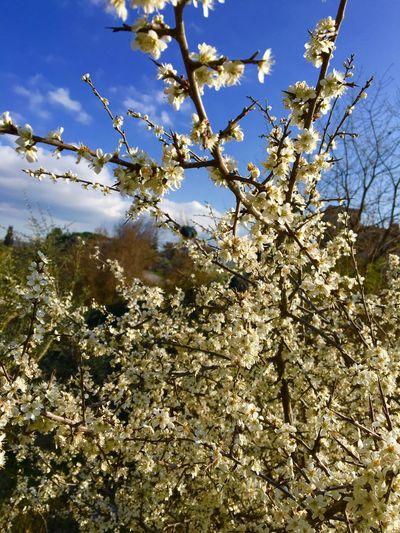 Biancospino Flowers Flowers,Plants & Garden Fiore Nature Nature Photography Photography Photo Campagna Toscana Italy Bella Italia Very Beautiful Veryveryvery I LIKE👍EyeEm😃👍